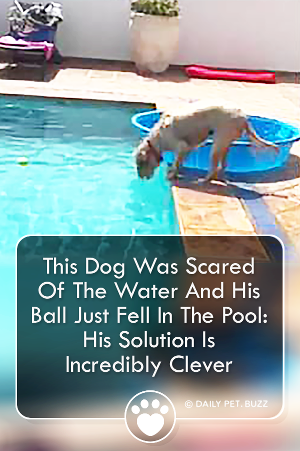 This Dog Was Scared Of The Water And His Ball Just Fell In The Pool: His Solution Is Incredibly Clever