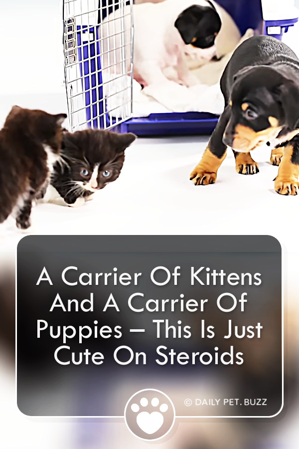 A Carrier Of Kittens And A Carrier Of Puppies – This Is Just Cute On Steroids