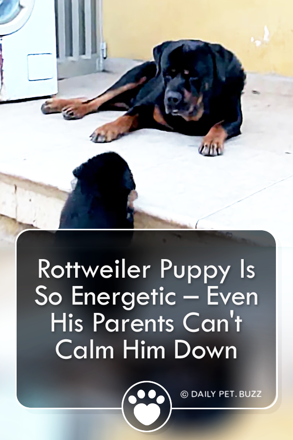 Rottweiler Puppy Is So Energetic – Even His Parents Can\'t Calm Him Down