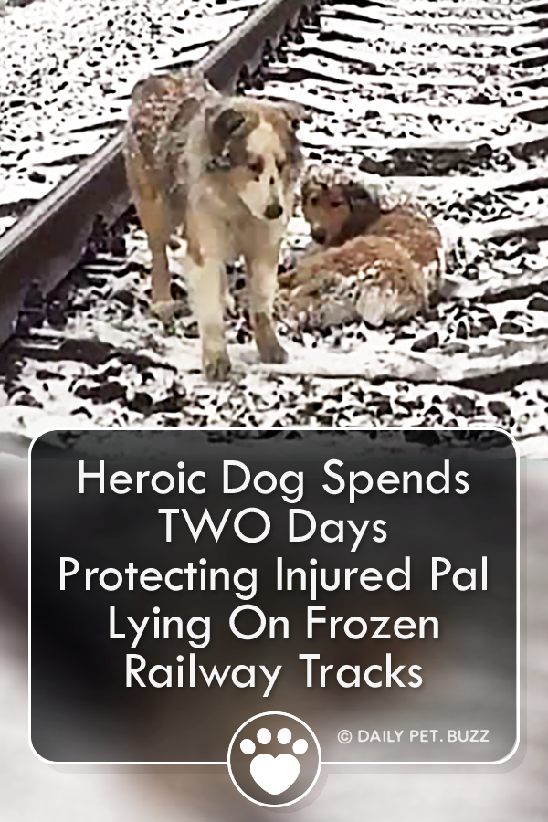 Heroic Dog Spends TWO Days Protecting Injured Pal Lying On Frozen Railway Tracks