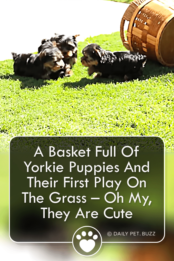 A Basket Full Of Yorkie Puppies And Their First Play On The Grass – Oh My, They Are Cute