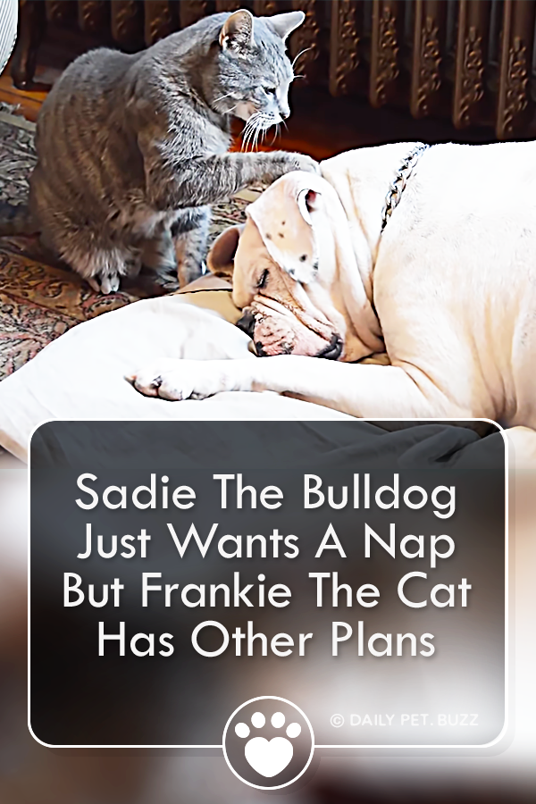 Sadie The Bulldog Just Wants A Nap But Frankie The Cat Has Other Plans