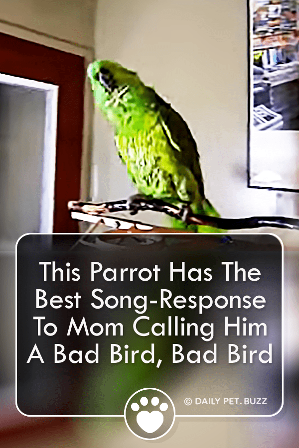 This Parrot Has The Best Song-Response To Mom Calling Him A Bad Bird, Bad Bird