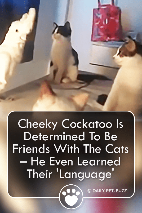 Cheeky Cockatoo Is Determined To Be Friends With The Cats – He Even Learned Their \'Language\'