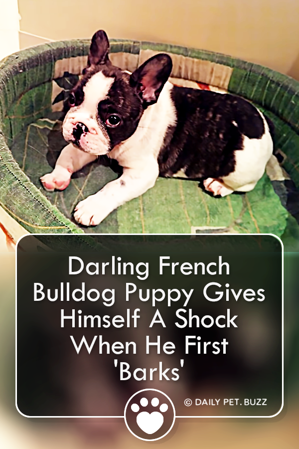 Darling French Bulldog Puppy Gives Himself A Shock When He First \'Barks\'