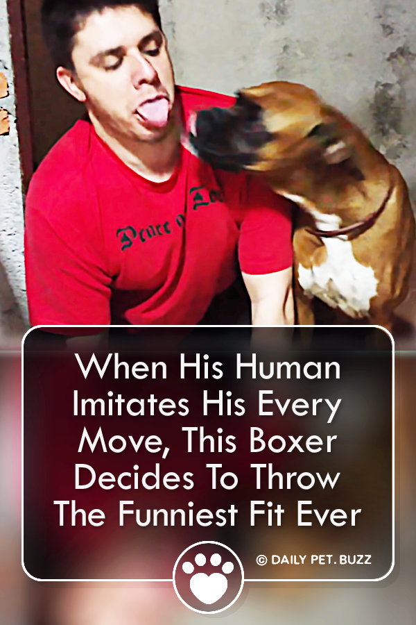 When His Human Imitates His Every Move, This Boxer Decides To Throw The Funniest Fit Ever