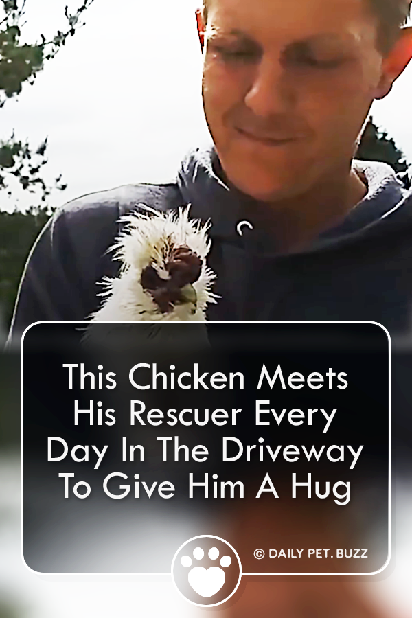 This Chicken Meets His Rescuer Every Day In The Driveway To Give Him A Hug