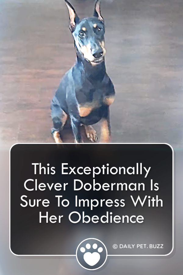 This Exceptionally Clever Doberman Is Sure To Impress With Her Obedience