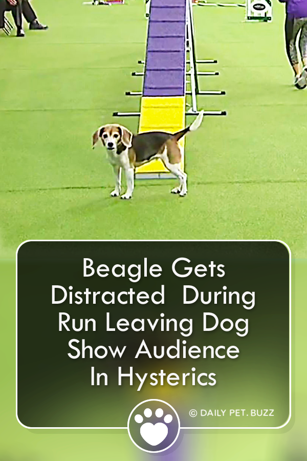 Beagle Gets Distracted  During Run Leaving Dog Show Audience In Hysterics
