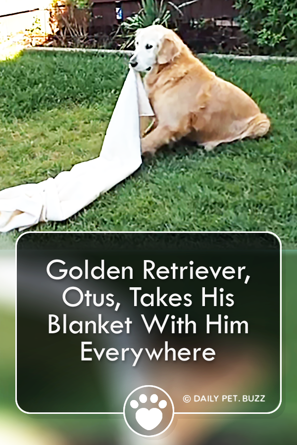 Golden Retriever, Otus, Takes His Blanket With Him Everywhere