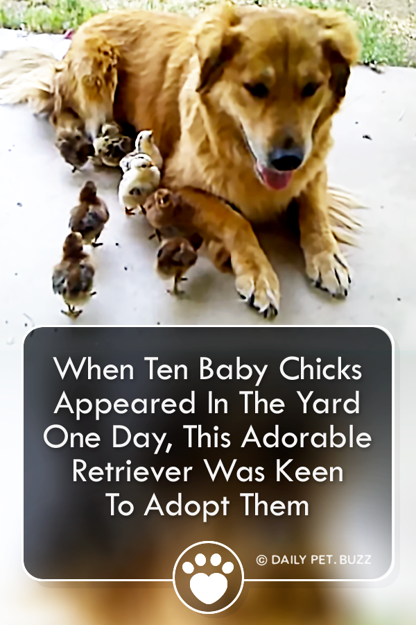 When Ten Baby Chicks Appeared In The Yard One Day, This Adorable Retriever Was Keen To Adopt Them