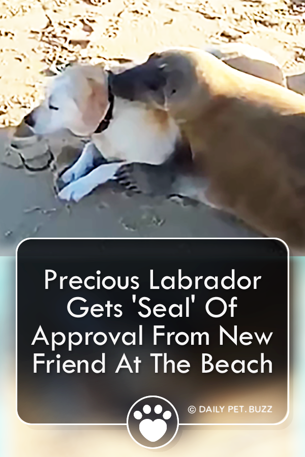 Precious Labrador Gets \'Seal\' Of Approval From New Friend At The Beach