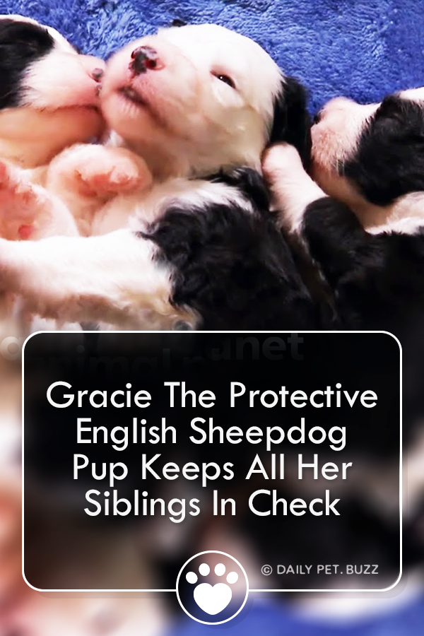 Six adorable English Sheepdog puppies are getting ready to explore the world, but adventurous boy Panda keeps wandering away from his Sheepdog siblings. Smallest pup Gracie likes to keep an eye on him, to make sure he doesn\'t go too far!  #cats #puppies #pets #animals #cute #funny #englishsheepdog #sheepdogs