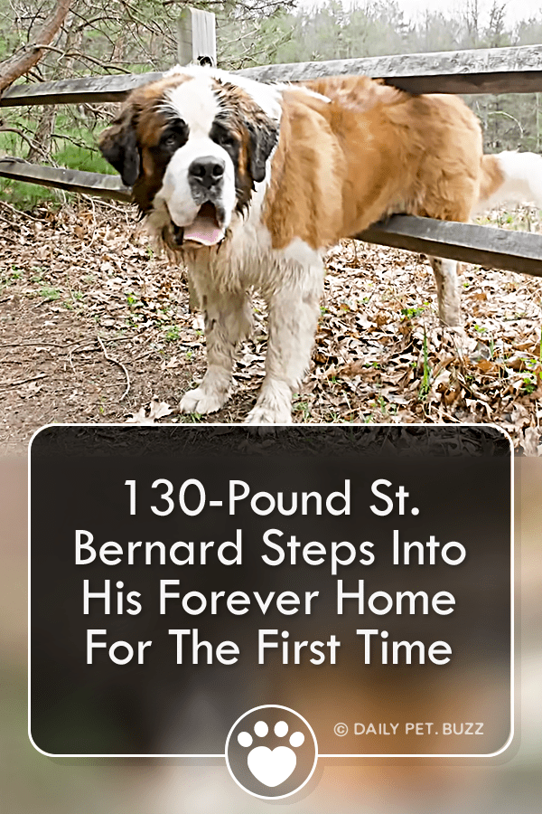 130-Pound St. Bernard Steps Into His Forever Home For The First Time