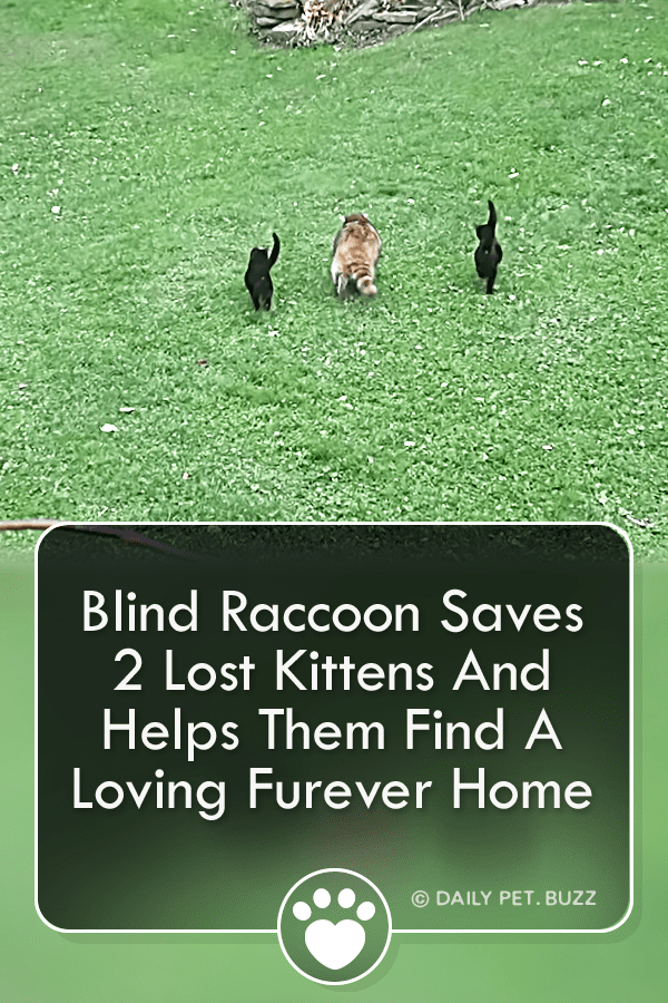 Blind Raccoon Saves 2 Lost Kittens And Helps Them Find A Loving Furever Home
