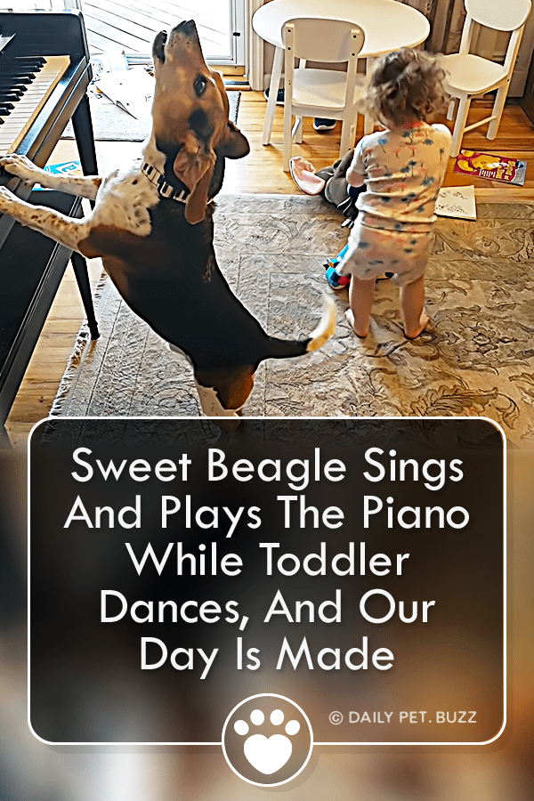 Sweet Beagle Sings And Plays The Piano While Toddler Dances, And Our Day Is Made