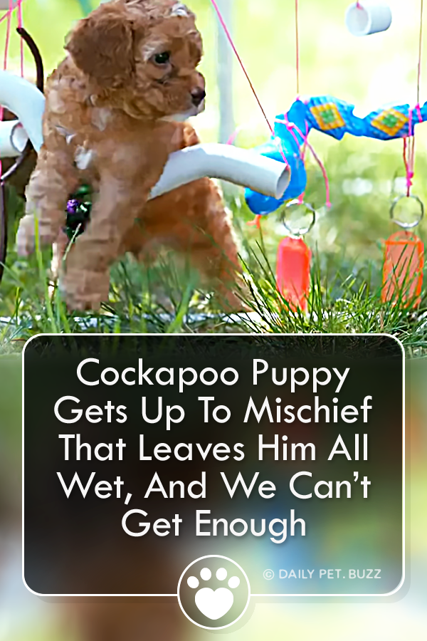 Cockapoo Puppy Gets Up To Mischief That Leaves Him All Wet, And We Can't Get Enough