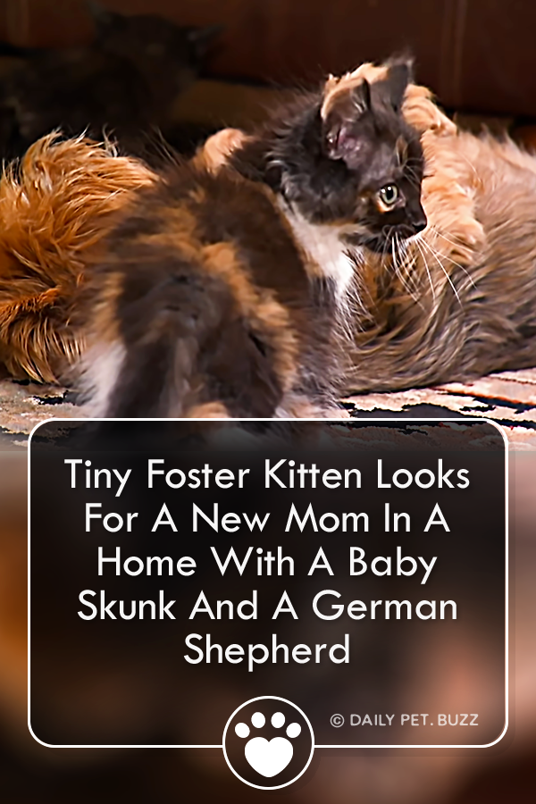 A little tuxedo foster kitten looks for a new momma in a home where he meets a baby skunk and a giant German shepherd. Will he ever find the mom he's looking for? #animals #cats #kittens #rescuestories #fosteranimals #cutecats #meow #tuxedocat #cute