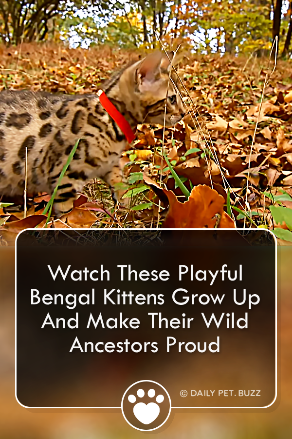 A litter of adorable Bengal kittens grows up under the watchful eye of their mom. Watch them learn how to grow into their wildly spotted coats. #cats #bengal #kittens #cutecats #animals #meow