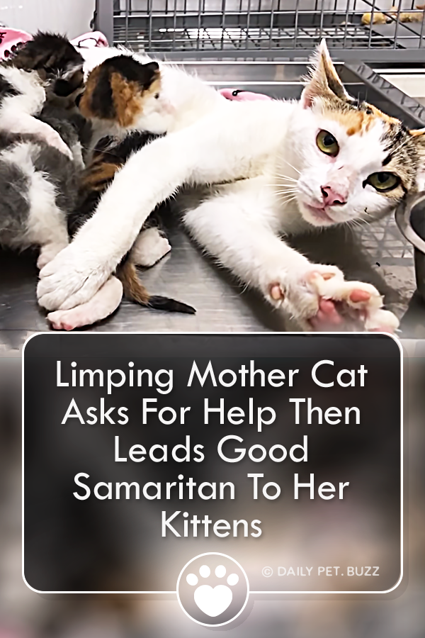 When a limping cat arrived in his yard, Good Samaritan Walter Santi followed her back to her kittens and took them in. This brave cat mom reached out for help and got it. #cats #kittens #animalrescue #happyending #goodsamaritan #cutecats #meow #rescuestories