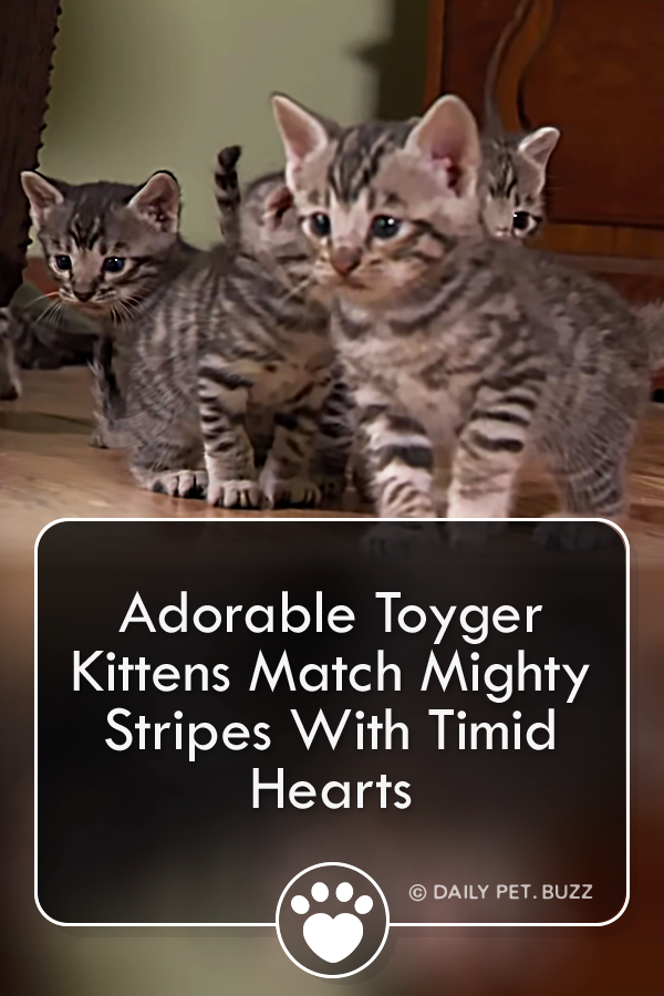 These adorable kittens are Toygers, named after the stripes on their coats. Like their big cat cousins, their striped bodies hide brave hearts, if only they can get past their timidity. #cats #kittens #animals #cute #cutecats #toyger #pets #meow