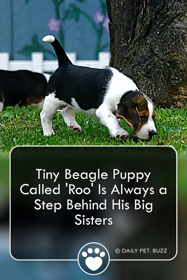 Tiny Beagle Puppy Called \'Roo\' Is Always a Step Behind His Big Sisters