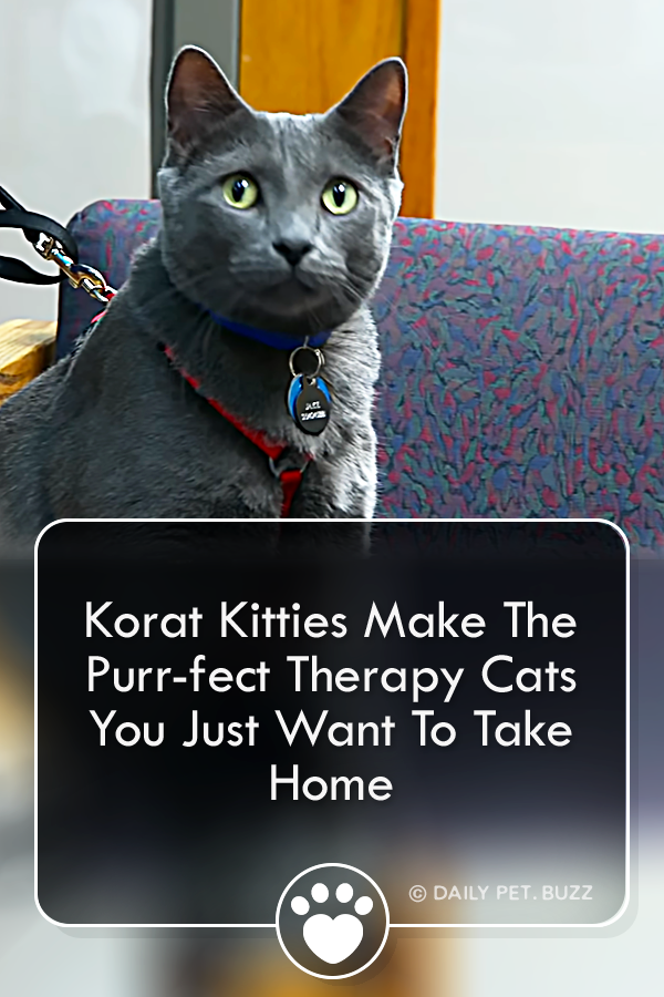 Korat Kitties Make The Purr-fect Therapy Cats You Just Want To Take Home