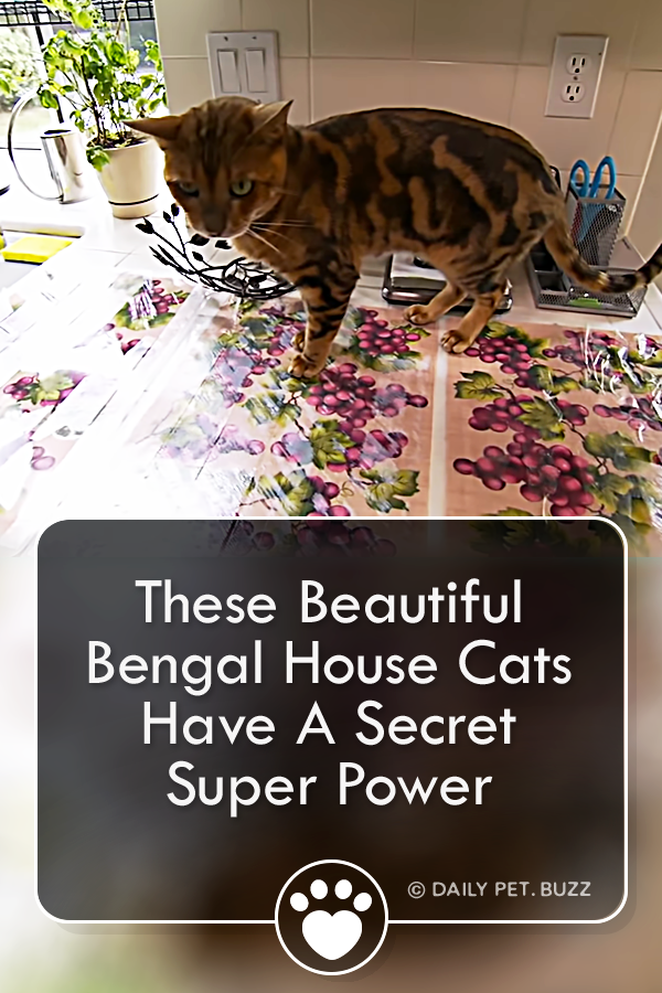 These Beautiful Bengal House Cats Have A Secret Super Power