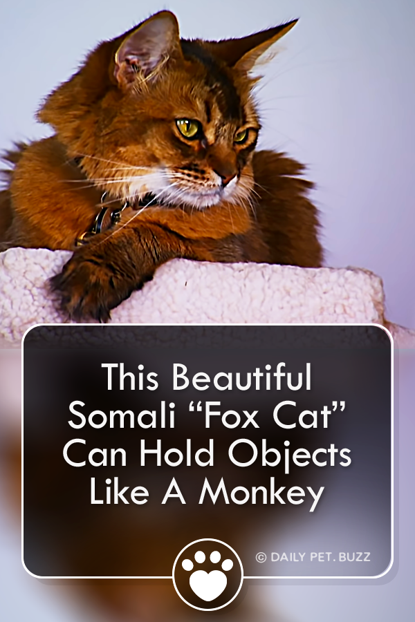 "This Beautiful Somali ""Fox Cat"" Can Hold Objects Like A Monkey"