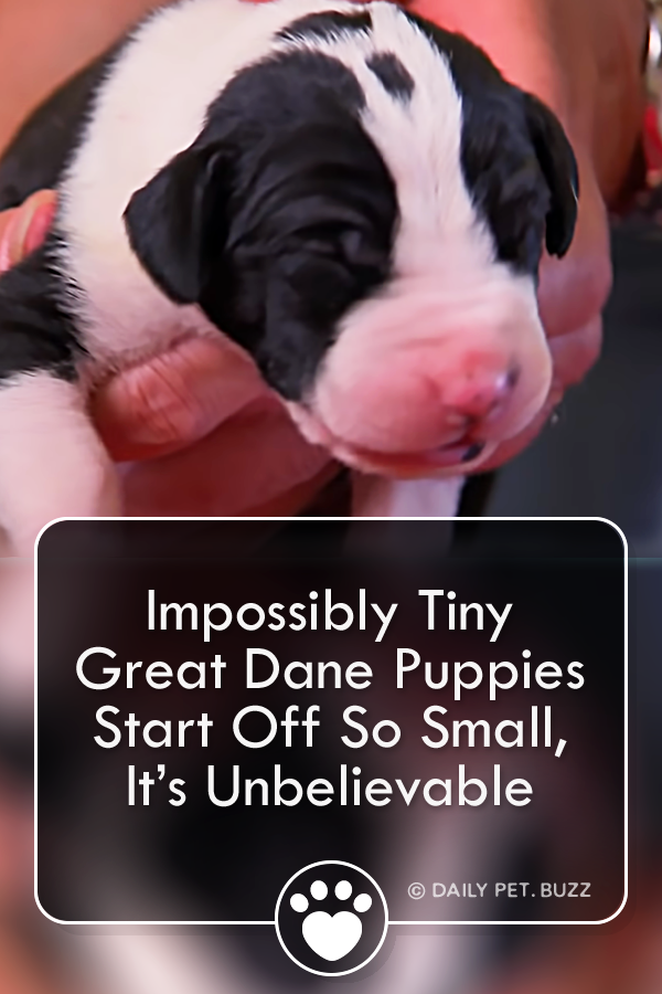 Impossibly Tiny Great Dane Puppies Start Off So Small, It's Unbelievable