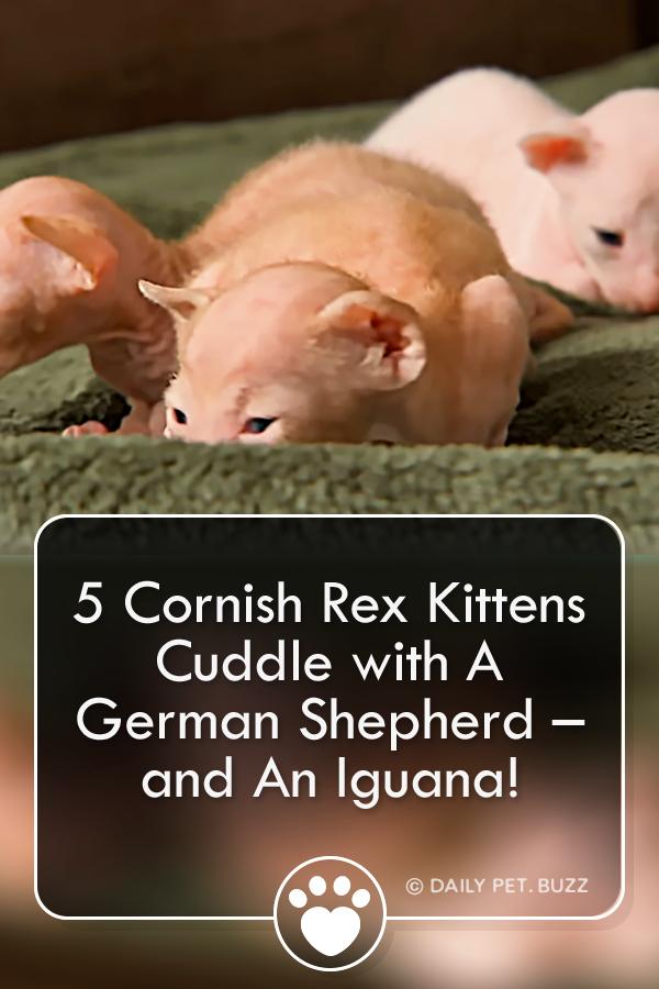 Five Cornish Rex Kittens Cuddle with A German Shepherd – and An Iguana!