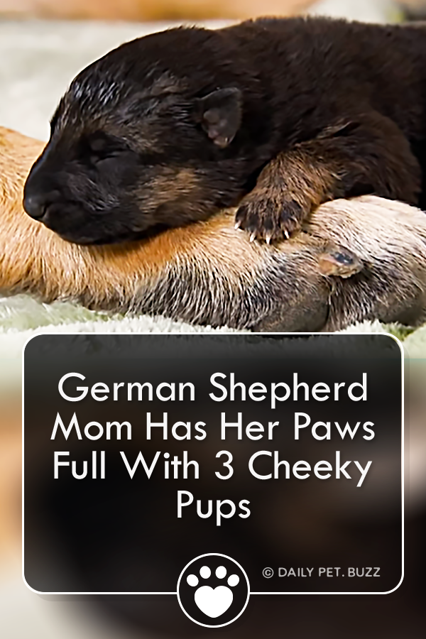 German Shepherd Mom Has Her Paws Full With 3 Cheeky Pups