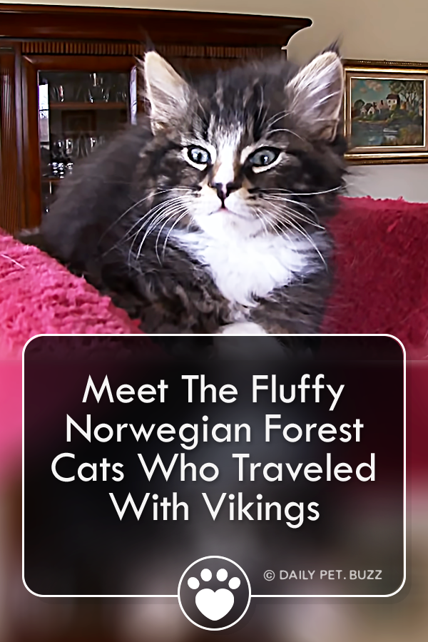 Meet The Fluffy Norwegian Forest Cats Who Traveled With Vikings