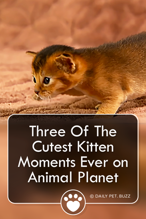 Three Of The Cutest Kitten Moments Ever on Animal Planet