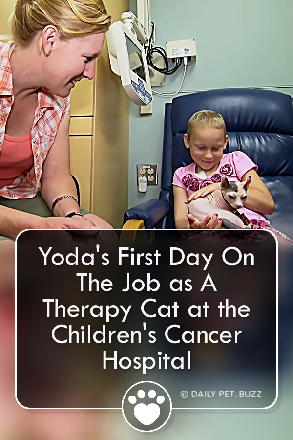 Yoda\'s First Day On The Job as A Therapy Cat at the Children\'s Cancer Hospital