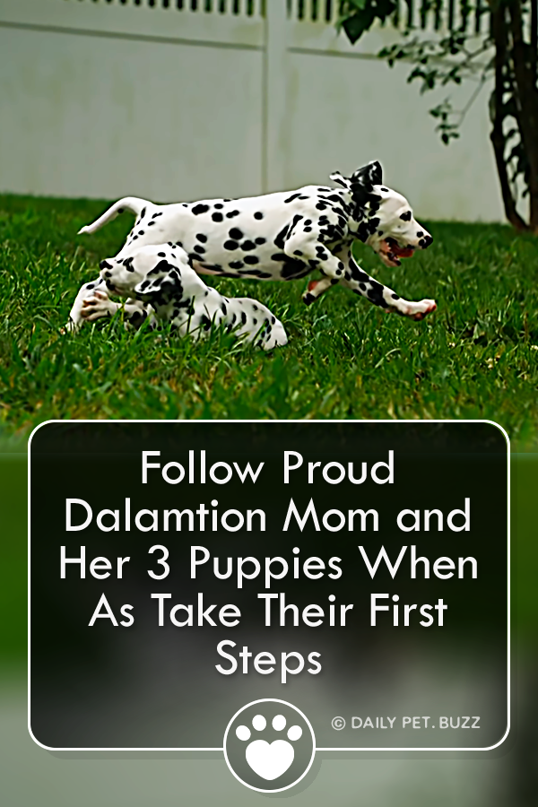 Follow Proud Dalamtion Mom and Her 3 Puppies When As Take Their First Steps