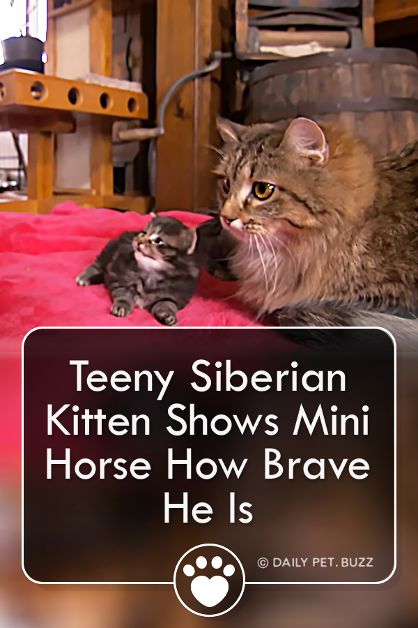 Teeny Siberian Kitten Shows Mini Horse How Brave He Is