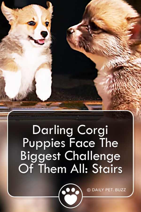 Darling Corgi Puppies Face The Biggest Challenge Of Them All: Stairs