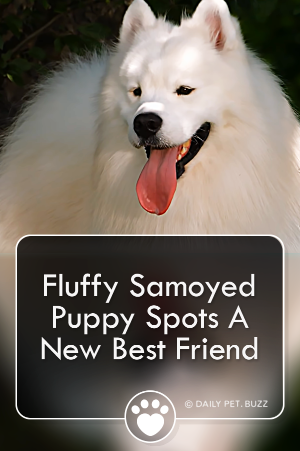 Fluffy Samoyed Puppy Spots A New Best Friend