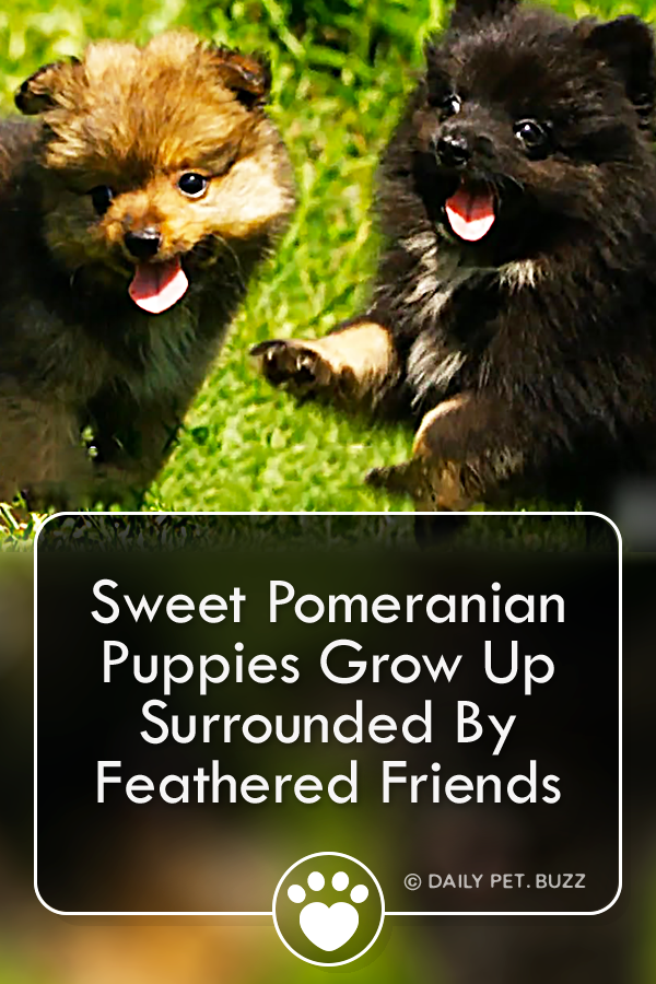 Sweet Pomeranian Puppies Grow Up Surrounded By Feathered Friends