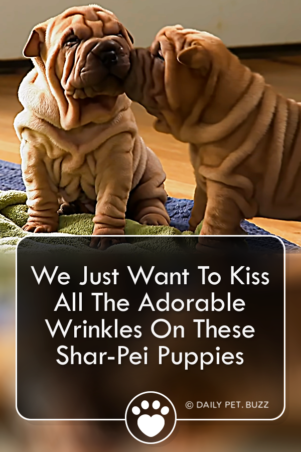 We Just Want To Kiss All The Adorable Wrinkles On These Shar-Pei Puppies