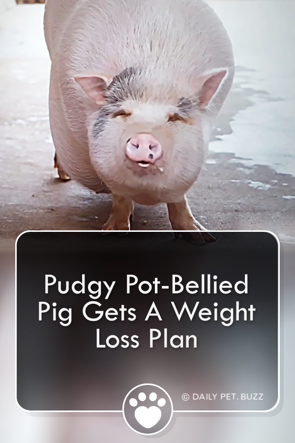 Pudgy Pot-Bellied Pig Gets A Weight Loss Plan