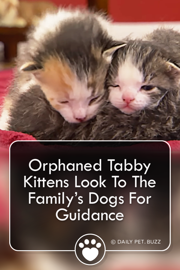Orphaned Tabby Kittens Look To The Family's Dogs For Guidance