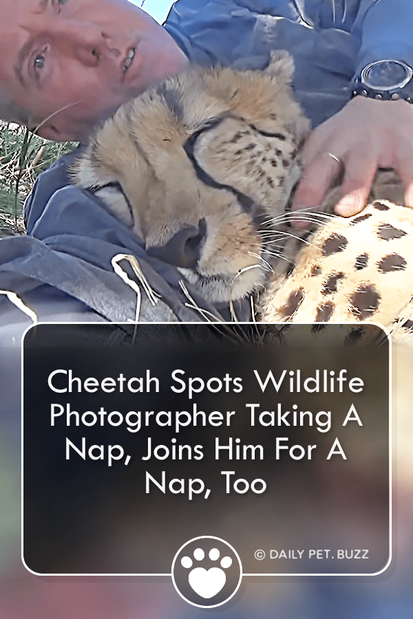 Cheetah Spots Wildlife Photographer Taking A Nap, Joins Him For A Nap, Too