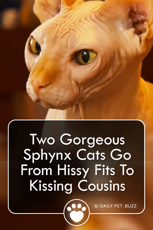Two Gorgeous Sphynx Cats Go From Hissy Fits To Kissing Cousins