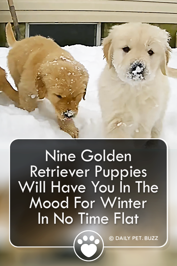 Nine Golden Retriever Puppies Will Have You In The Mood For Winter In No Time Flat