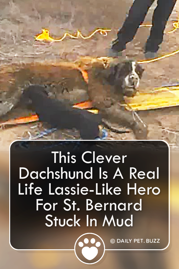 This Clever Dachshund Is A Real Life Lassie-Like Hero For St. Bernard Stuck In Mud