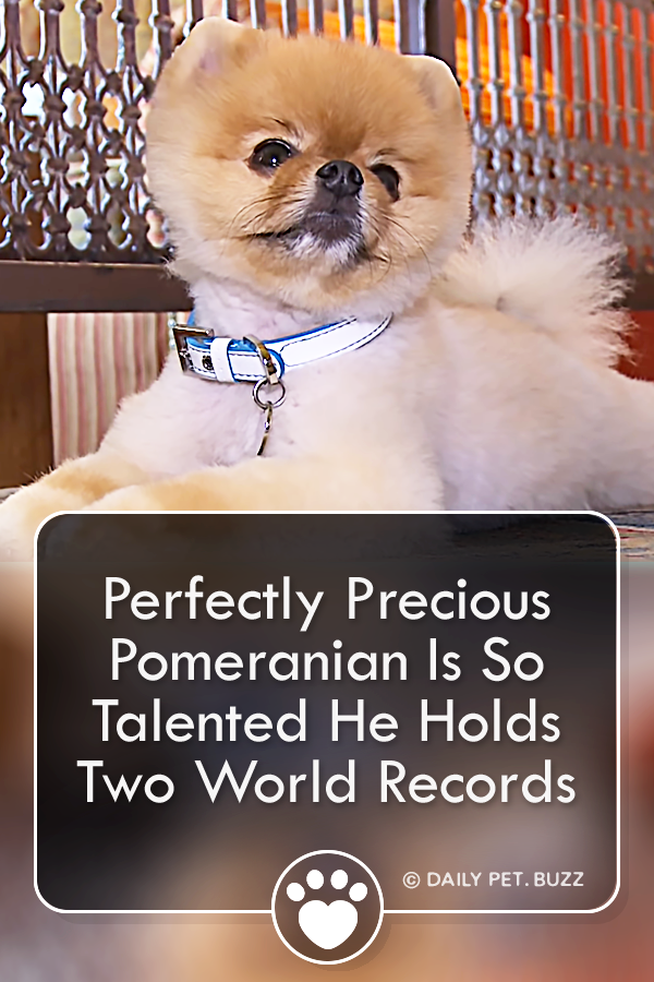 Perfectly Precious Pomeranian Is So Talented He Holds Two World Records