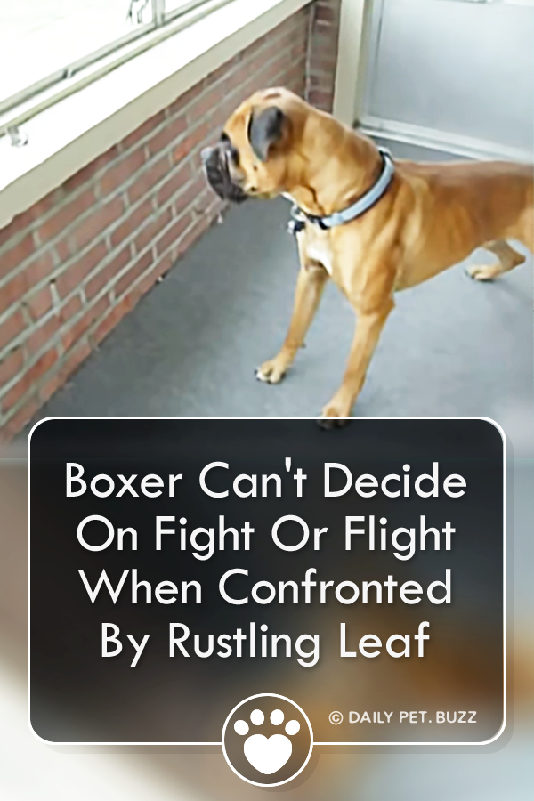 Boxer Can\'t Decide On Fight Or Flight When Confronted By Rustling Leaf