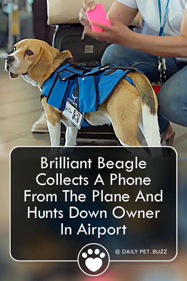 Brilliant Beagle Collects A Phone From The Plane And Hunts Down Owner In Airport